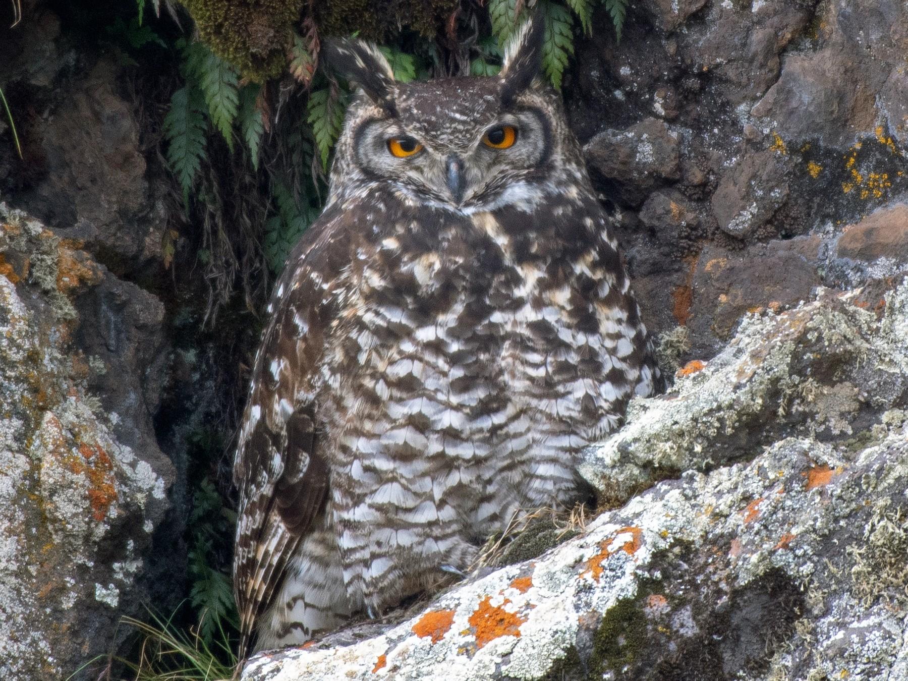 Cape Eagle-Owl - Ana Paula Oxom