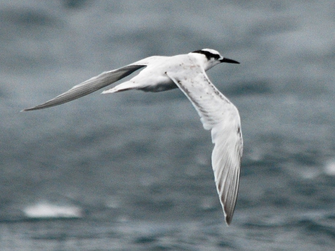 Black-naped Tern - Nigel Voaden