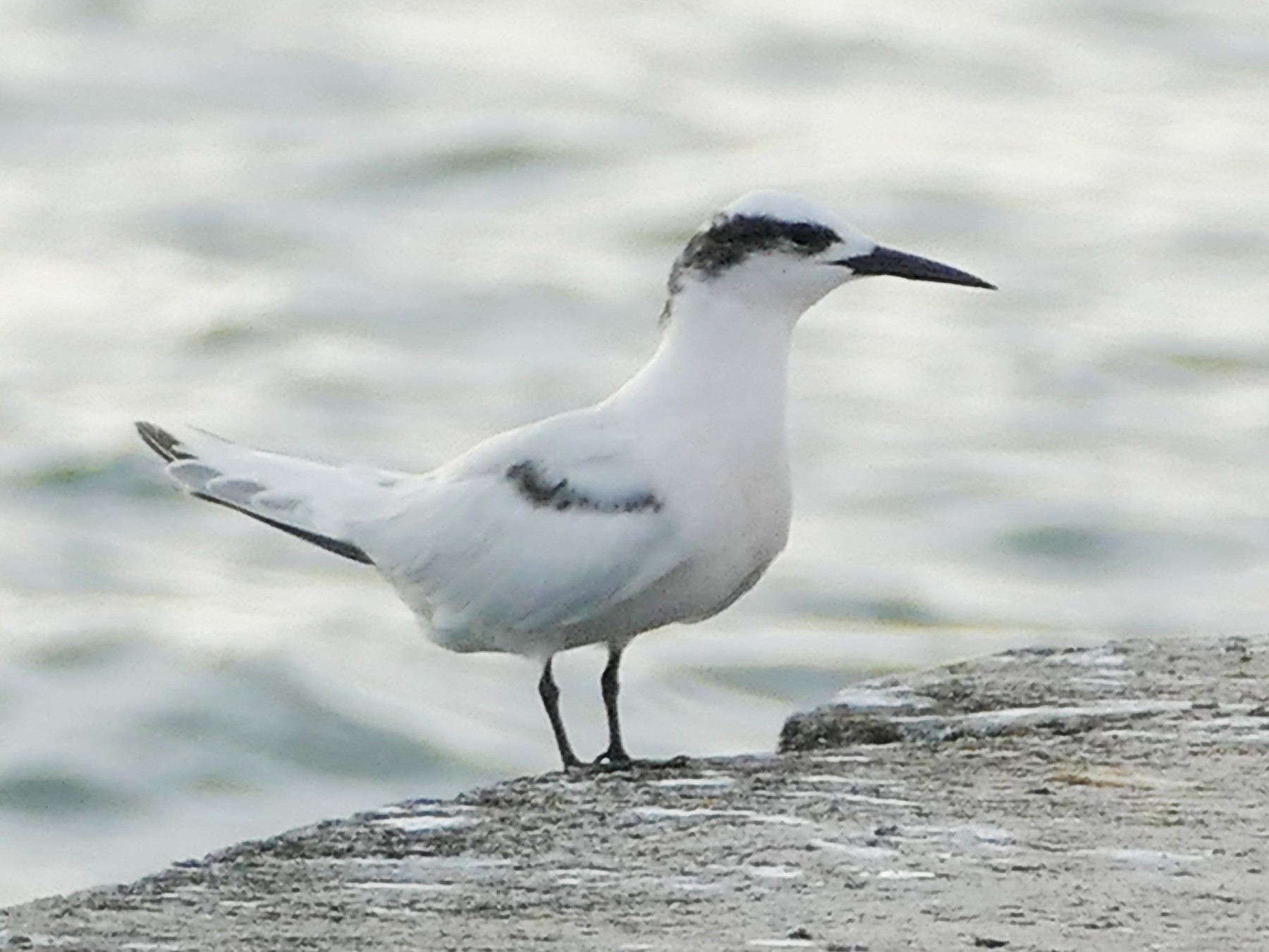 Black-naped Tern - Peter Kaestner