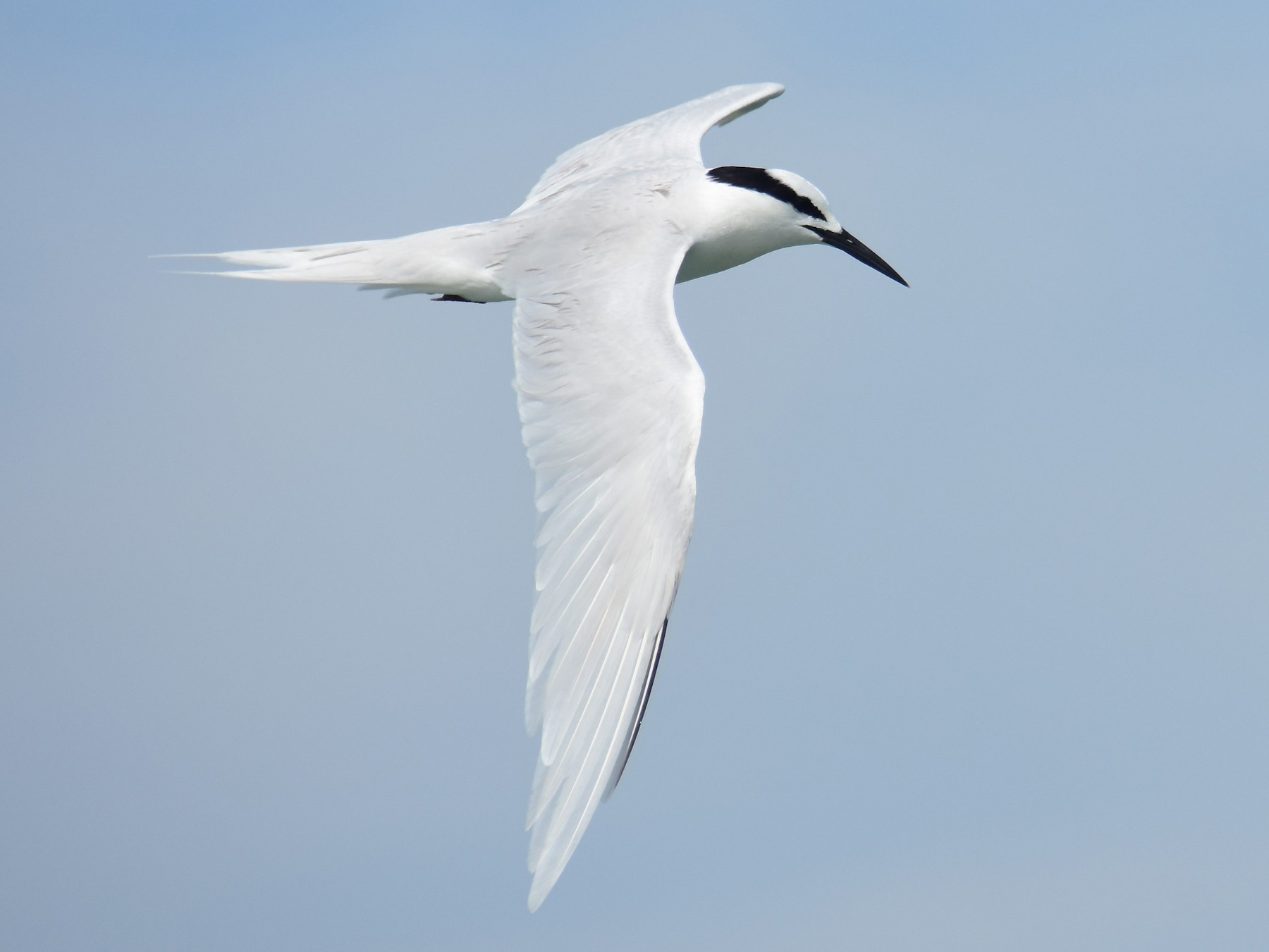 Black-naped Tern - Kun-Hui  Lin