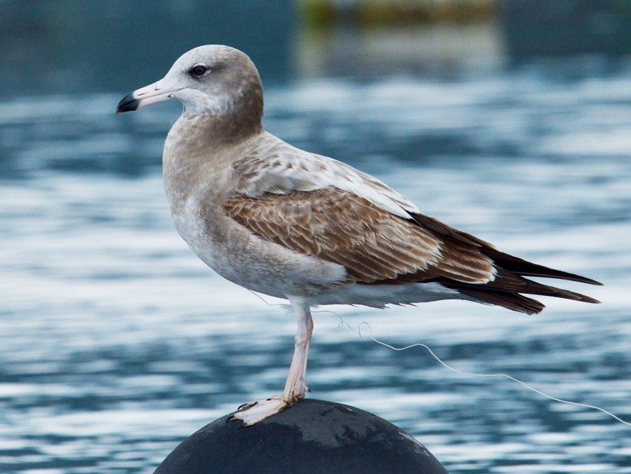 Black-tailed Gull - Qin Huang
