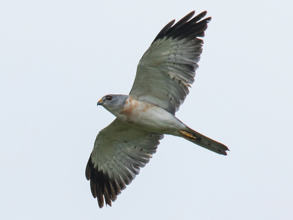 Chinese Sparrowhawk - Wich'yanan (Jay) Limparungpatthanakij