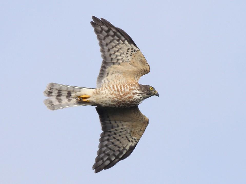Chinese Sparrowhawk - Chien-wei Tseng