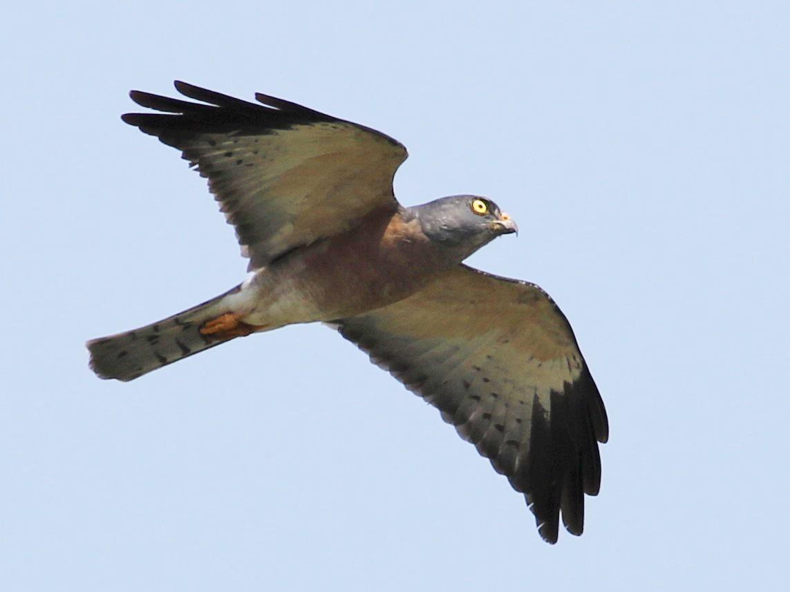 Chinese Sparrowhawk - Fadzrun A.