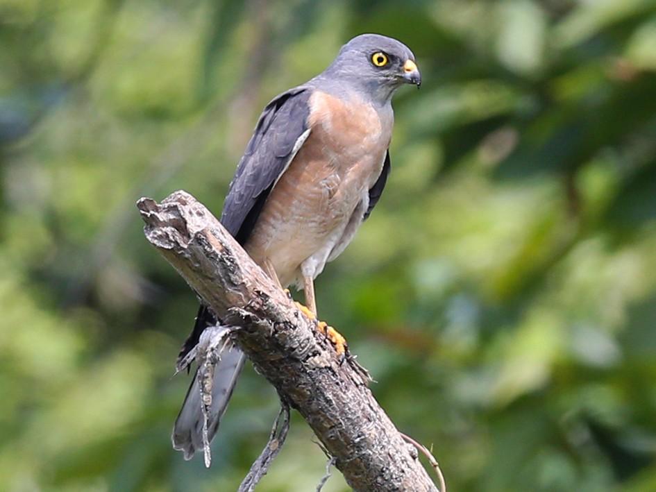 Chinese Sparrowhawk - Roman Lo