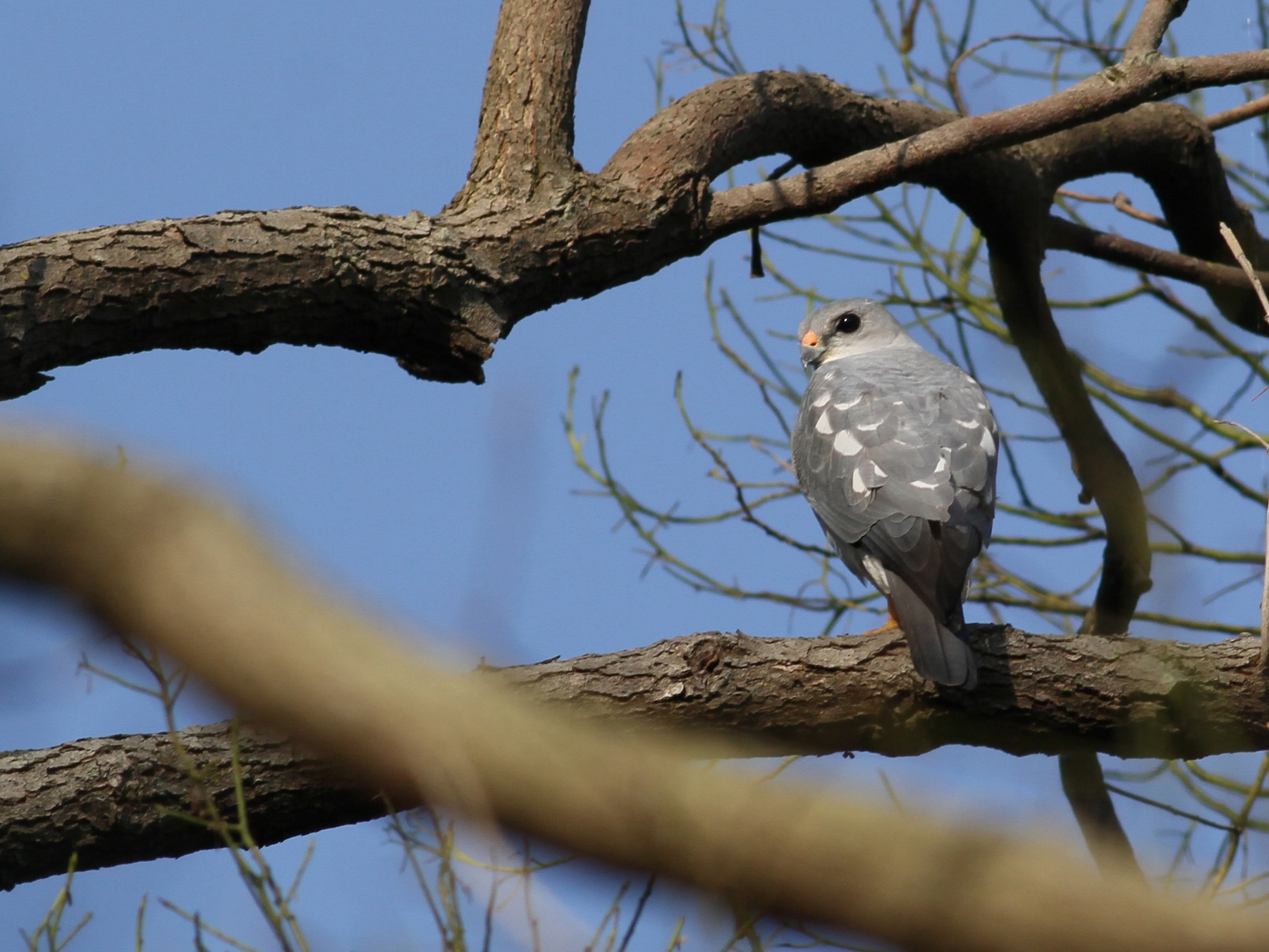 Chinese Sparrowhawk - Ting-Wei (廷維) HUNG (洪)