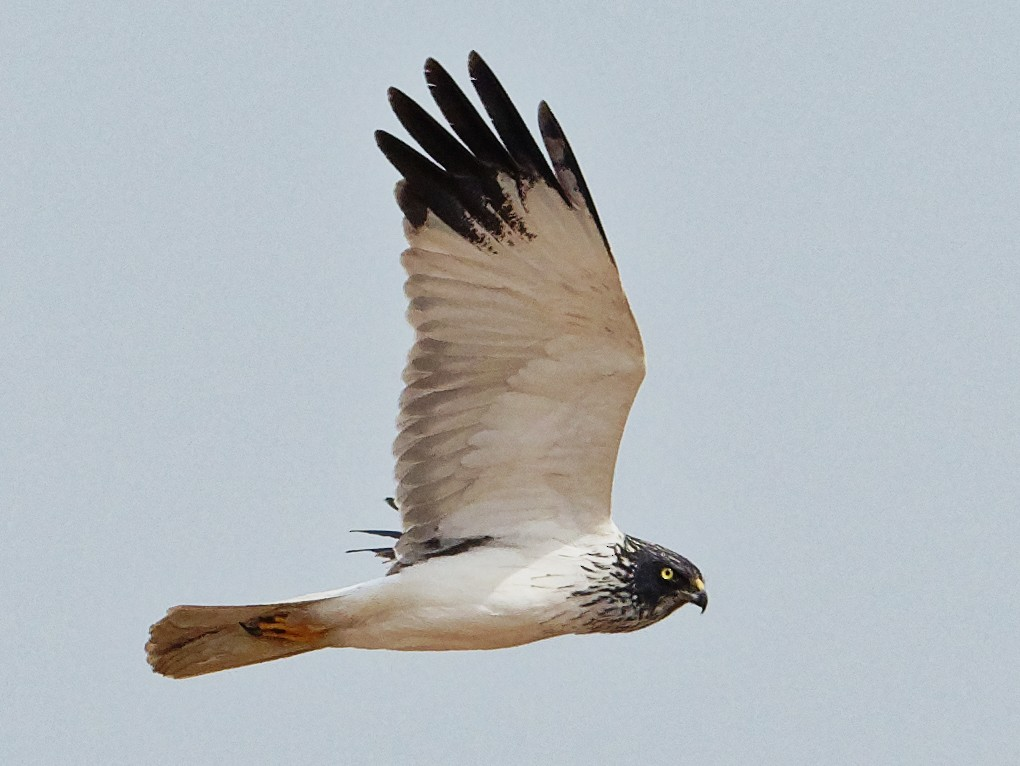 Eastern Marsh-Harrier - Vincent Wang