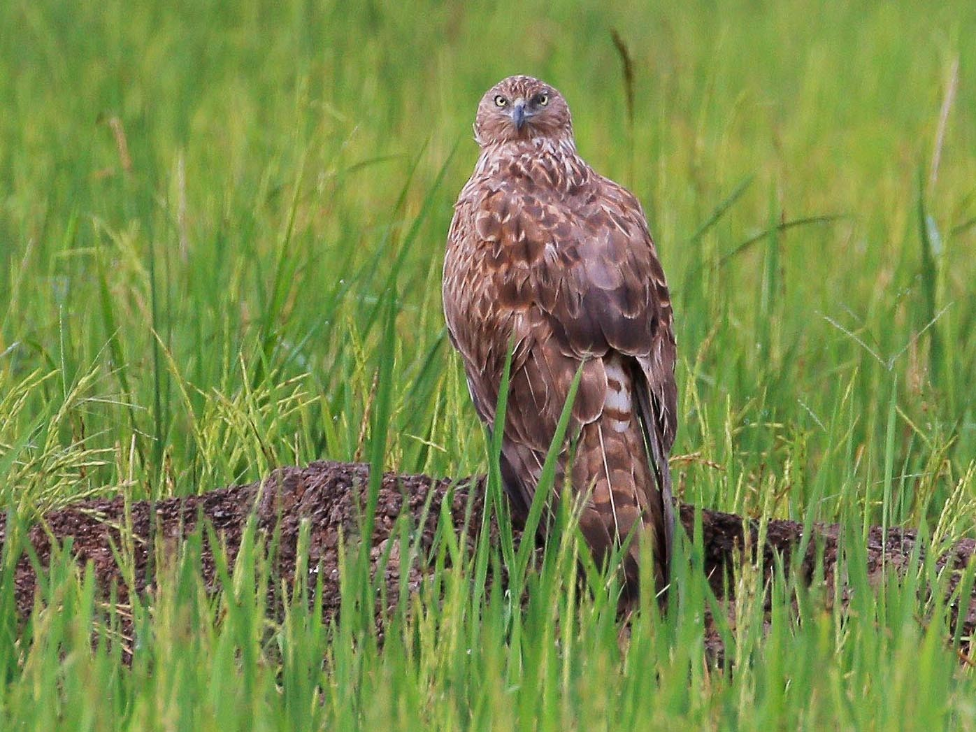 Eastern Marsh-Harrier - Neoh Hor Kee