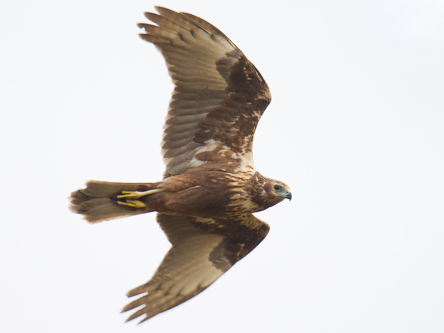 Eastern Marsh-Harrier - Craig Brelsford