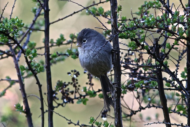 Gray-hooded Parrotbill