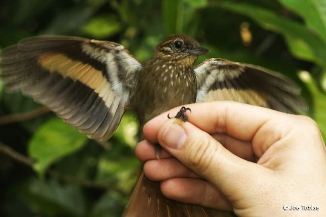 Wedge-billed Woodcreeper (albigularis)