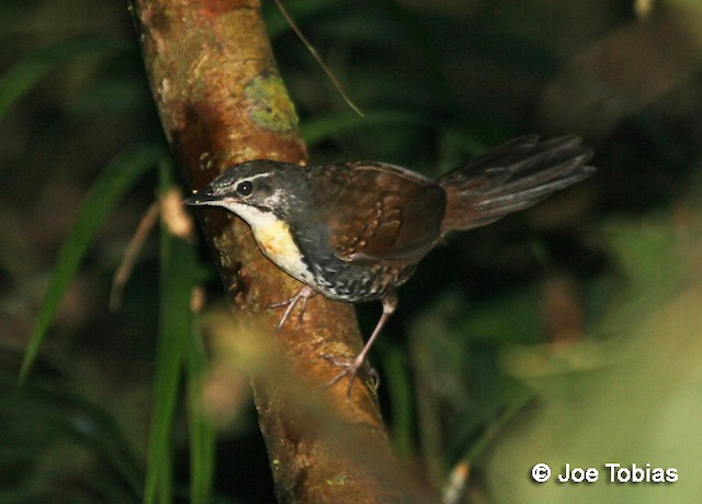 Rusty-belted Tapaculo