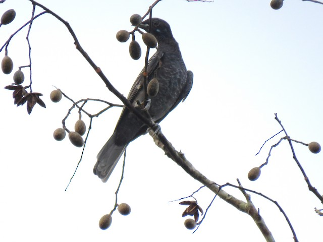 Bare-necked Fruitcrow