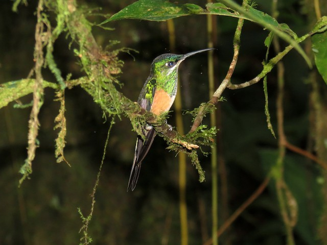 Scissor-tailed Hummingbird