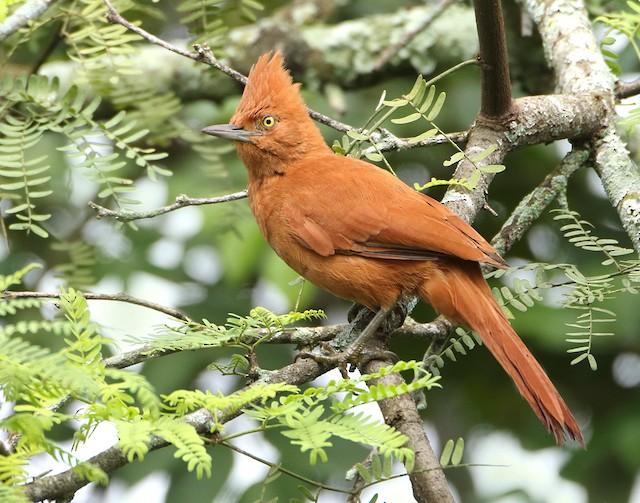 Caatinga Cacholote