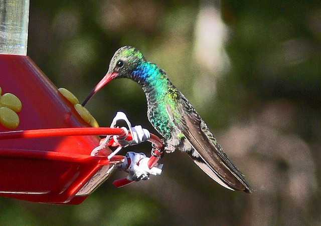 Broad-billed Hummingbird (Northern)