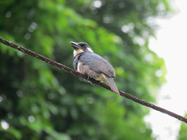 Black-breasted Puffbird