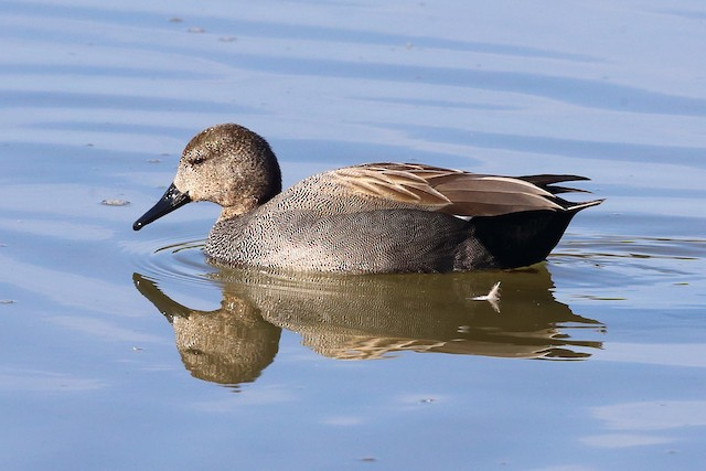 Gadwall (Common)