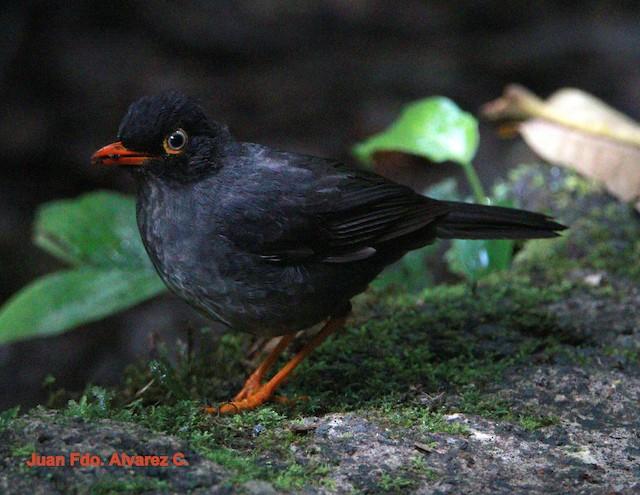Slaty-backed Nightingale-Thrush (Black-backed)