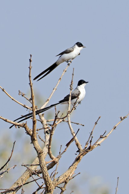 Fork-tailed Flycatcher (savana)
