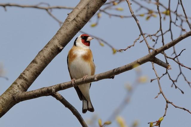 European Goldfinch (European)