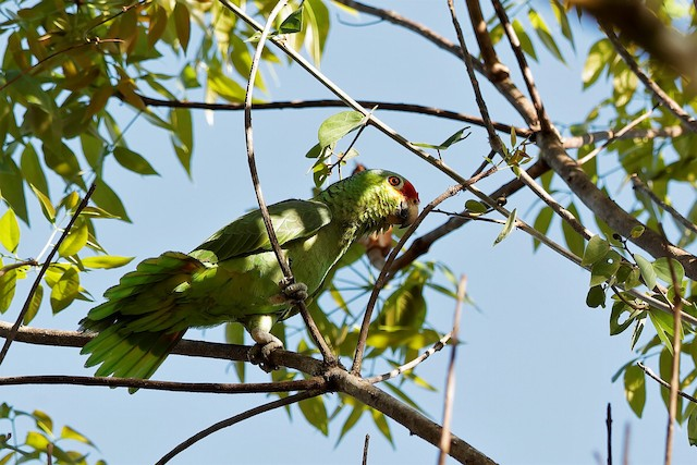 Red-lored Parrot (Yellow-cheeked)