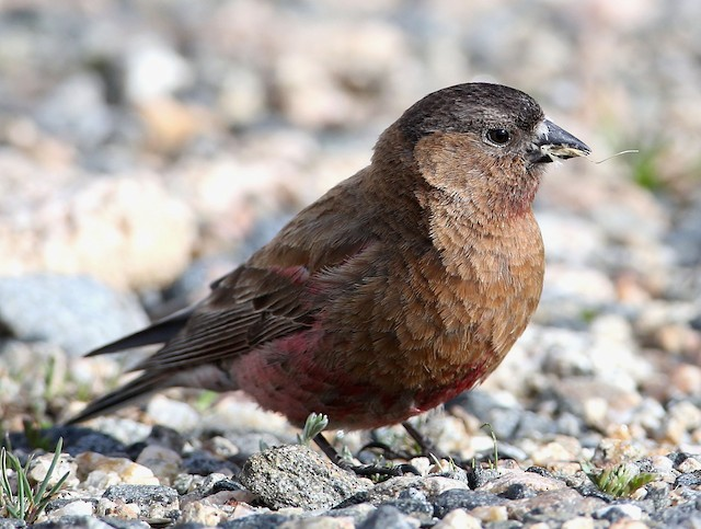 Brown-capped Rosy-Finch