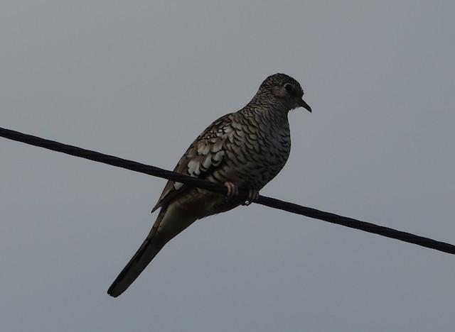 Scaled Dove