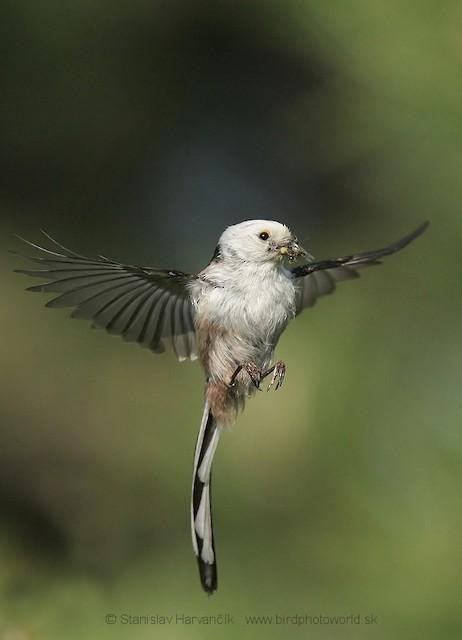 Long-tailed Tit (caudatus)