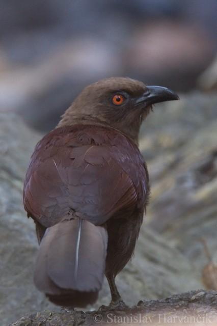 Andaman Coucal
