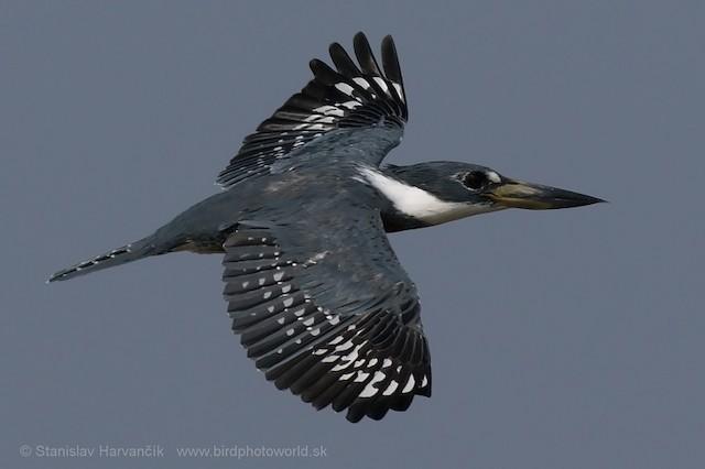 Ringed Kingfisher (Northern)