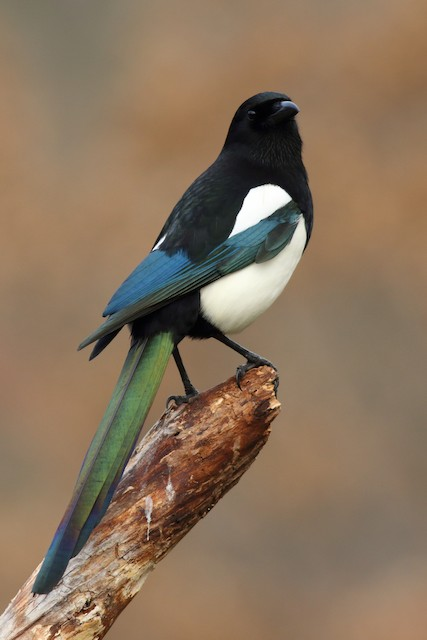 Eurasian Magpie (Iberian)