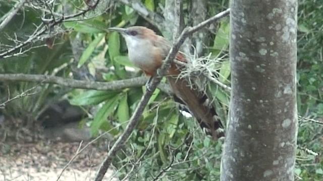 Great Lizard-Cuckoo (Cuban)