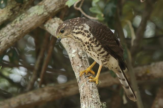 African Goshawk (Southern)