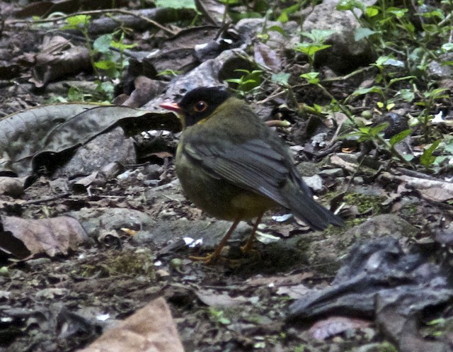 Spotted Nightingale-Thrush (Gould's)