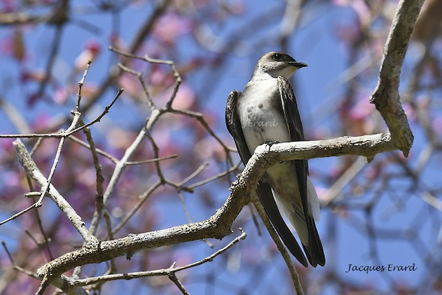 Brown-chested Martin