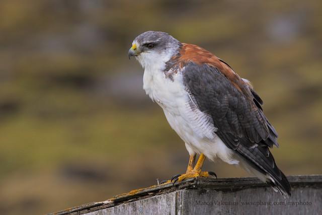 Variable Hawk (Variable)
