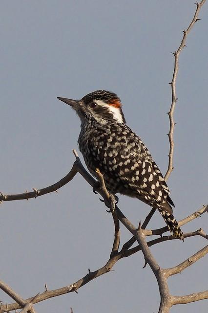 Checkered Woodpecker