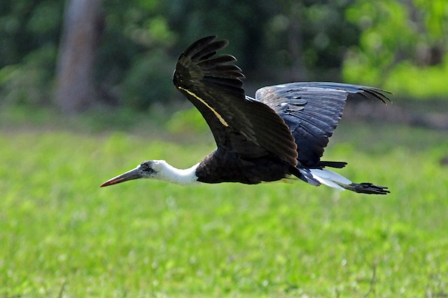 Woolly-necked Stork (African)