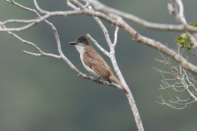 Loggerhead Kingbird (Hispaniolan)