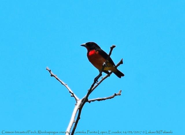 Crimson-breasted Finch