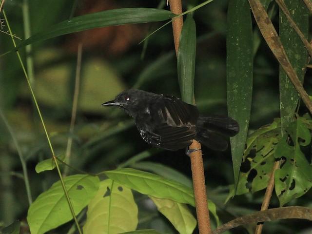 Black Antbird