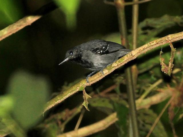 Long-winged Antwren