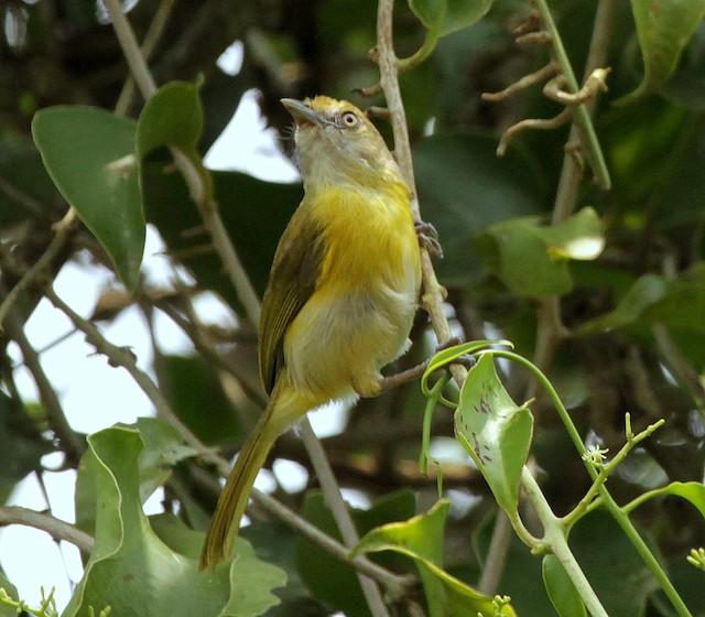 Lemon-chested Greenlet (Rio de Janeiro)