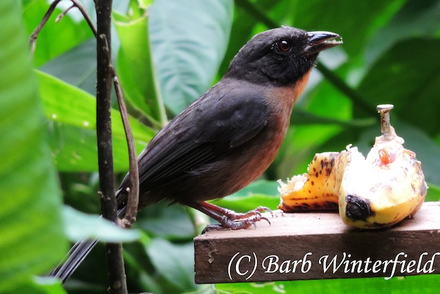 Black-cheeked Ant-Tanager