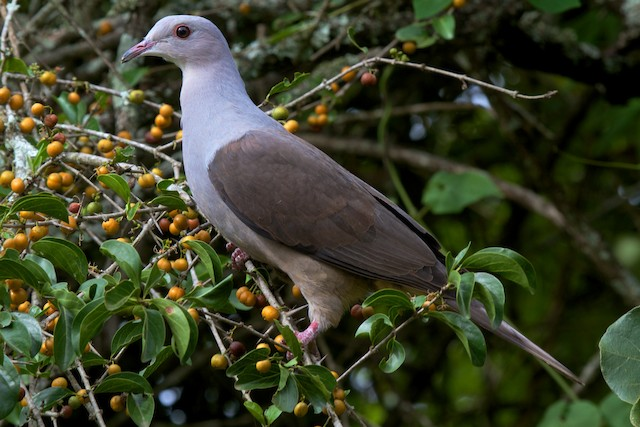 Mountain Imperial-Pigeon (cuprea)