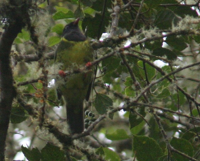 Green-and-black Fruiteater (Green-and-black)