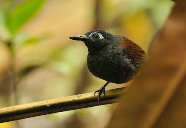 Chestnut-backed Antbird (Chestnut-backed)