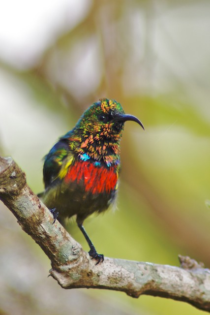 Forest Double-collared Sunbird