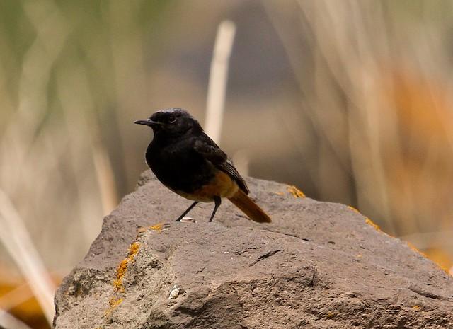 Black Redstart (Eastern)